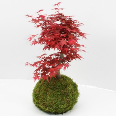 kokedama-erable-du-japon-xl-deshojo